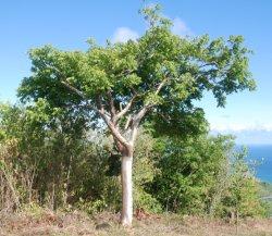 Gomier Tree